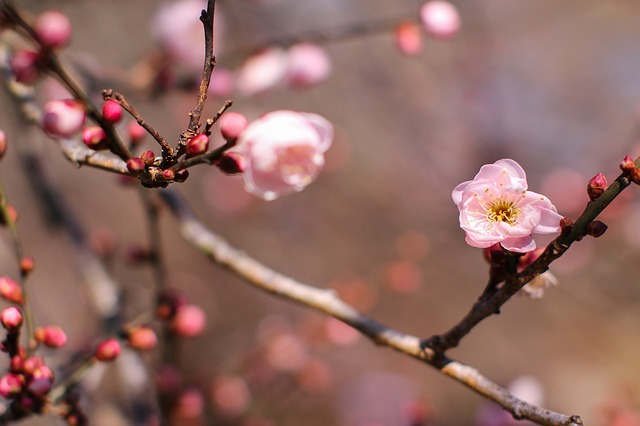 plum-blossom-662136_640